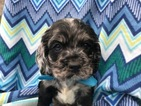 Cocker Spaniel Puppy For Sale in QUARRYVILLE, PA,