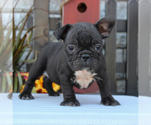 Medium Faux Frenchbo Bulldog