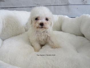 Maltipoo Puppy For Sale in LA MIRADA, CA