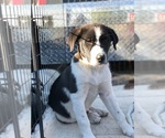 Small #6 Border Collie-Great Pyrenees Mix