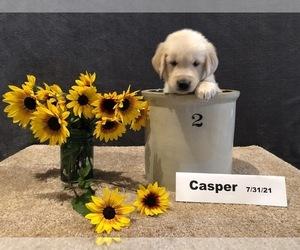 Golden Retriever Puppy for Sale in SAINT THOMAS, Pennsylvania USA