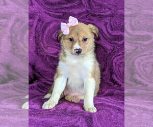 Shetland Sheepdog-Unknown Mix Puppy for sale in PEACH BOTTOM, PA, USA