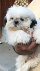 Shih Tzu Dog For Adoption in MODESTO, CA