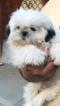 Shih Tzu Dog For Adoption in MODESTO, CA
