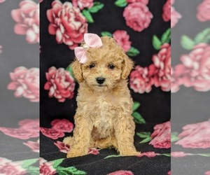 Cantel Puppy for sale in NOTTINGHAM, PA, USA