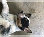Small #7 Australian Cattle Dog