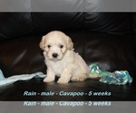 Small #1 Cavapoo