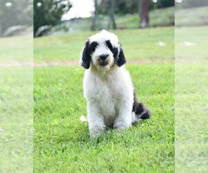 Sheepadoodle Puppy for Sale in STRASBURG, Ohio USA