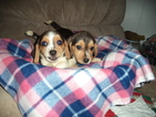 Beagle Puppies AKC registered