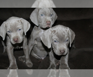 Mastiff-Weimaraner Mix Puppy for Sale in ROME, Georgia USA
