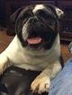 Bulldog Puppy For Sale in SPANAWAY, WA
