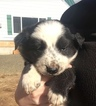Border Collie Puppy For Sale in COLTON, Oregon,