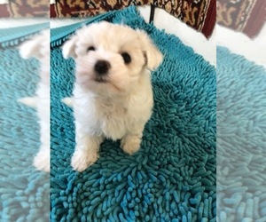 Maltese Puppy for sale in CHARBONNEAU, OR, USA