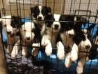 Border Collie Puppy For Sale in GROVELAND, FL