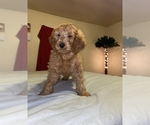 Small #14 Goldendoodle-Poodle (Standard) Mix