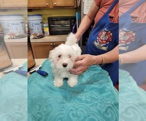 Havanese Puppy for sale in WAKEFIELD, VA, USA