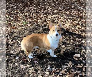 Pembroke Welsh Corgi Puppy for sale in HOLLY SPRINGS, NC, USA