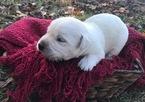 Labrador Retriever Puppy For Sale in SULLIGENT, AL, USA