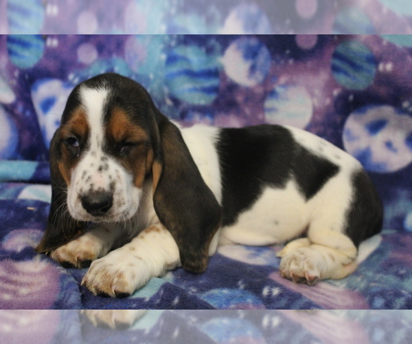 Medium Photo #2 Basset Hound Puppy For Sale in JOICE, IA, USA