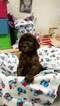 Poodle (Standard) Puppy For Sale in HAMILTON, OH,