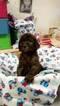 Blue Standard Poodle