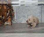 Puppy 7 Labradoodle-Poodle (Miniature) Mix