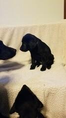 Labrador Retriever Puppy For Sale in DYERSVILLE, IA, USA