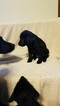 Labrador Retriever Puppy For Sale in DYERSVILLE, IA, USA