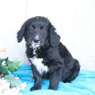 Bernedoodle-Goldendoodle Mix Puppy For Sale in GAP, PA, USA