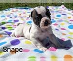 Small #7 American Bulldog
