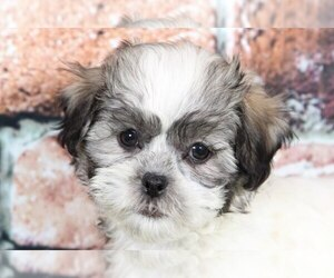 Zuchon Puppy for Sale in BEL AIR, Maryland USA