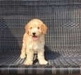 Goldendoodle Puppy For Sale in ALEXANDRIA, IN,