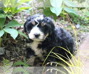 Miniature Bernedoodle Puppy for Sale in ALLEGHENYVILLE, Pennsylvania USA