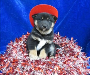 Shiba Inu Puppy for Sale in NORWOOD, Missouri USA