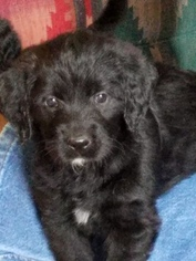 Labradoodle Puppy For Sale in MOUTH OF WILSON, VA