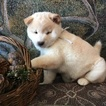 Shiba Inu Puppy For Sale in BOYCEVILLE, Wisconsin,