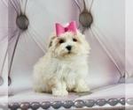 Puppy 6 Zuchon