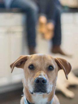 Labrador Retriever Mix dog