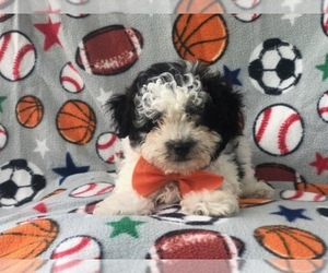 Shih-Poo Puppy for Sale in LAKELAND, Florida USA