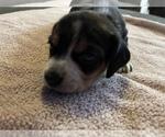 Small Photo #3 Beagle Puppy For Sale in LAFAYETTE, IN, USA