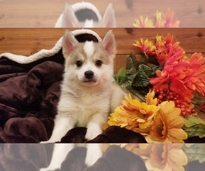 Pomsky Puppy for Sale in CENTRALIA, Missouri USA