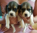 AKC Registered Beagle Puppies Male amp Female