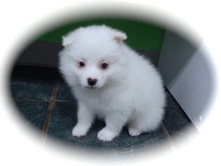 American Eskimo Dog Puppy For Sale in HAMMOND, IN