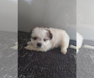 Zuchon Dog for Adoption in SHIPSHEWANA, Indiana USA