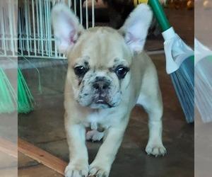French Bulldog Dog for Adoption in LEHIGHTON, Pennsylvania USA
