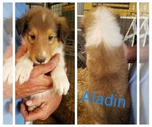 Collie Puppy for sale in FULLERTON, NE, USA