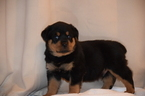 Rottweiler Puppy For Sale in SWEDESBORO, NJ, USA