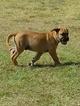 Bullmastiff Puppy For Sale in BESSIE, OK