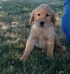 Golden Retriever Puppy For Sale in ARTHUR, IL, USA