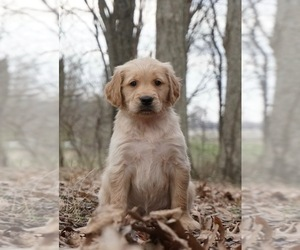 Golden Retriever Puppy for Sale in WARSAW, Indiana USA